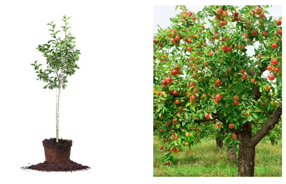Selling apple trees